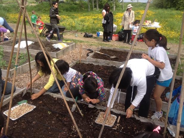 Planting the scarlet runner beans seedlings
